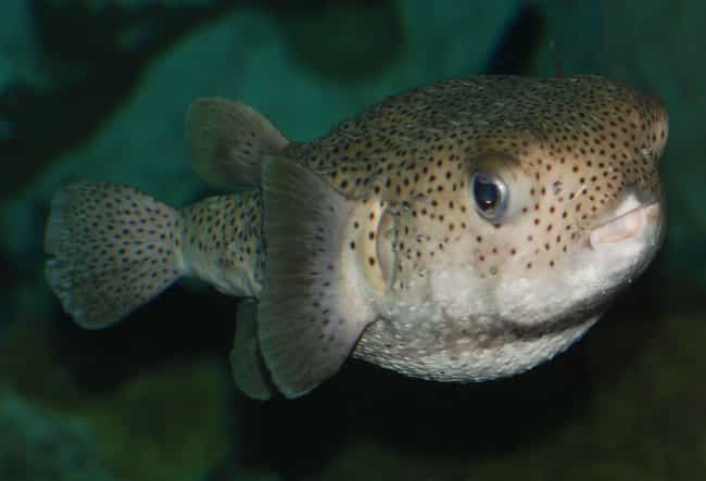 Pufferfish is listed (or ranked) 1 on the list The Most Poisonous Creatures In The Sea