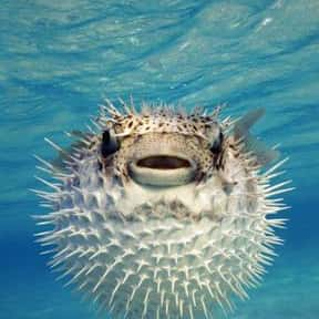 Pufferfish is listed (or ranked) 23 on the list What Sea Creature Do You Want to Be?