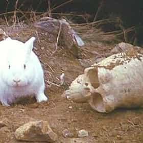 Rabbit of Caerbannog