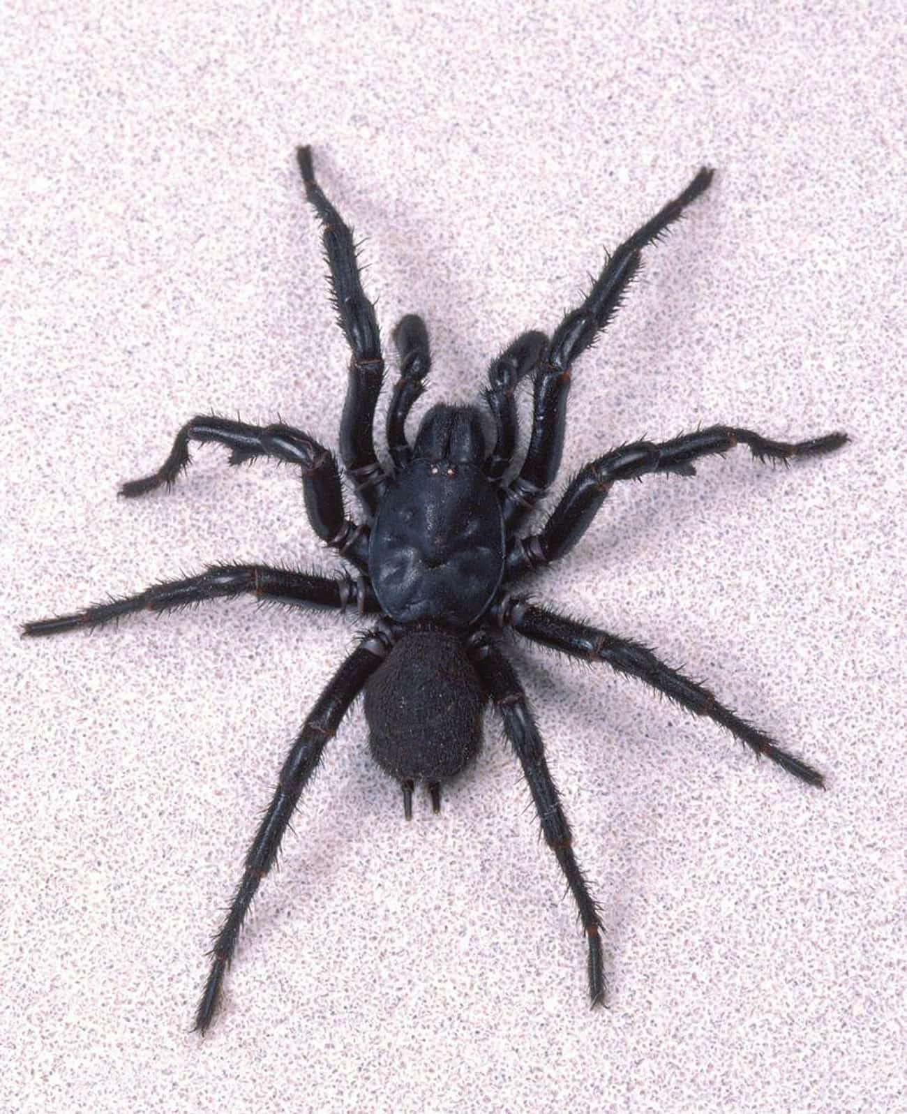 Funnel Web Spiders is listed (or ranked) 1 on the list Deadly Spiders, Ranked By How Deadly Their Venom Is (Or Could Be)