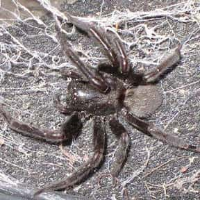 Funnel-Web Spider is listed (or ranked) 20 on the list The Scariest Animals in the World