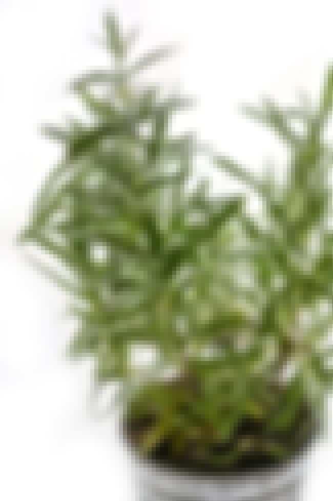 Rosemary is listed (or ranked) 3 on the list House Plants To Change Your Moods